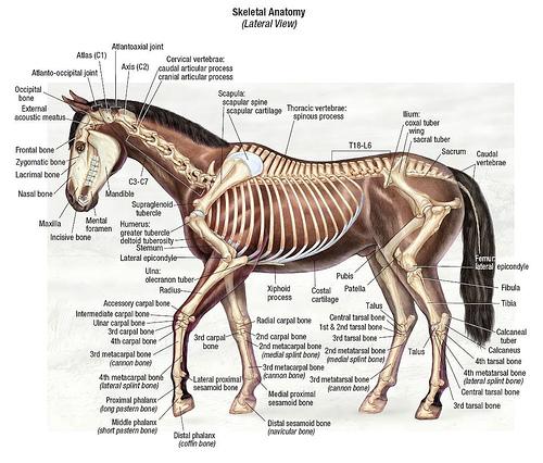 az alternatív tények is látszanak az ábrán, az állatorvosi ló két hátsó lába közt